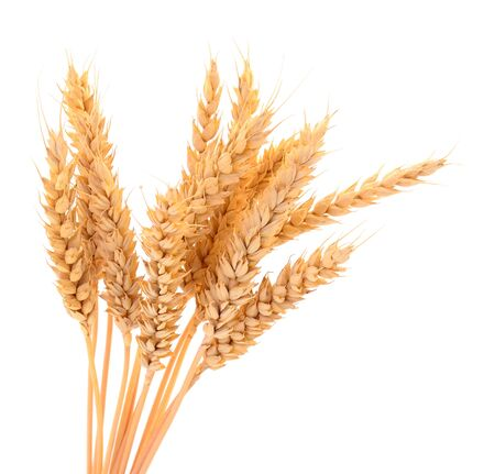 Ripe ears of wheat isolated on white background. 스톡 콘텐츠