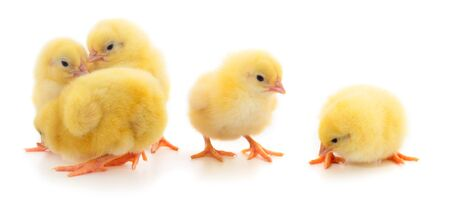 Five yellow chickens. Four yellow chickens on a white background. Foto de archivo - 134867562