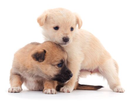 Two little puppies isolated on white background. Foto de archivo - 134867563