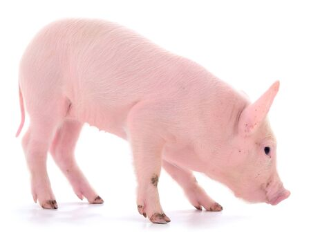 Small pink pig who is isolated on white background. Foto de archivo - 134867571