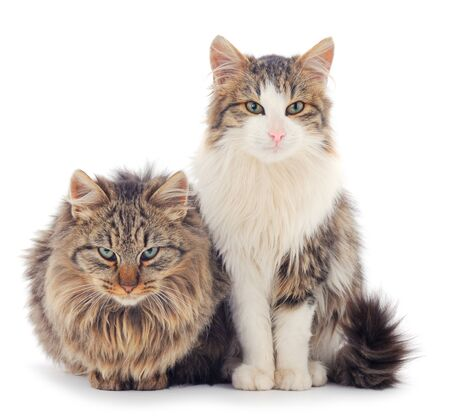 Two brown house cats on a white background.
