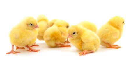 Groupe de petits poulets. Groupe de poulets jaunes sur fond blanc.