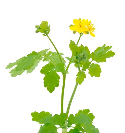 Bunch of celandine flowers on a white background.