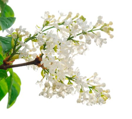 Branches of white lilac isolated on white background.