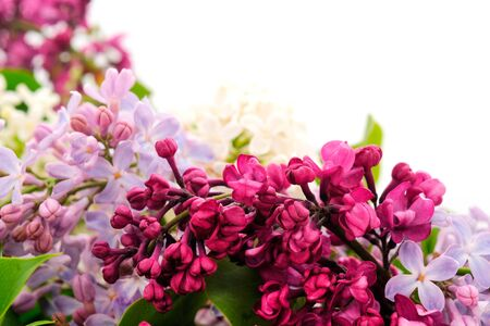 Branches of colorful lilac isolated on white background. 免版税图像