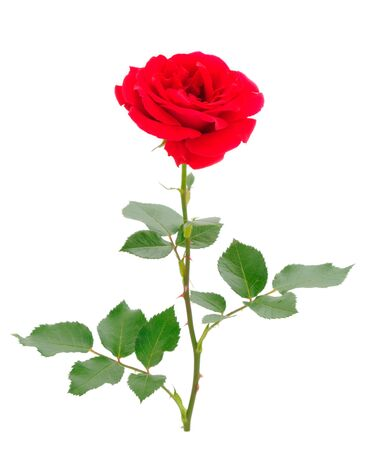Red beautiful roses isolated on white background. Stockfoto