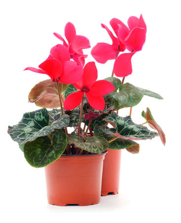 Red cyclamen in a pot isolated. On white background isolation. Фото со стока