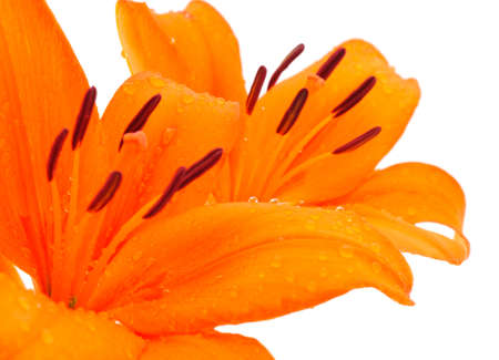 Two orange lily isolated on white background.