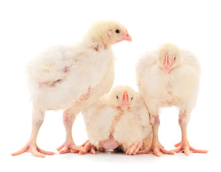 Three chicken or young broiler chickens on isolated white background. Banque d'images