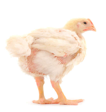 Chicken or young broiler chicken on isolated white background.