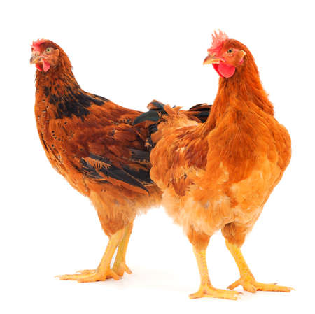 Two young brown hen isolated on white background.