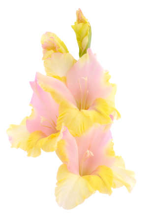 Beautiful pink gladiolus flower isolated on white background.Blank of congratulatory card.