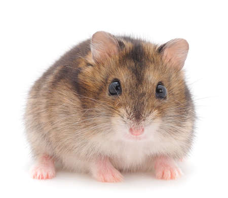 Dwarf gray hamster isolated on white background. Stockfoto