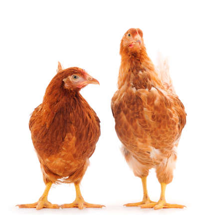 Two young hens isolated on white background. Фото со стока