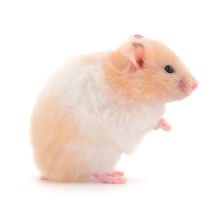 Dwarf white hamster isolated on white background.