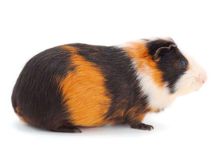 Guinea pig isolated on white background. Funny, guineapig.