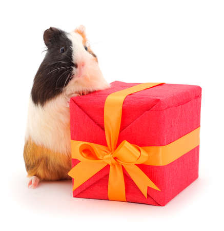 Guinea pig and gift box isolated on white background. Funny, guineapig. Stok Fotoğraf