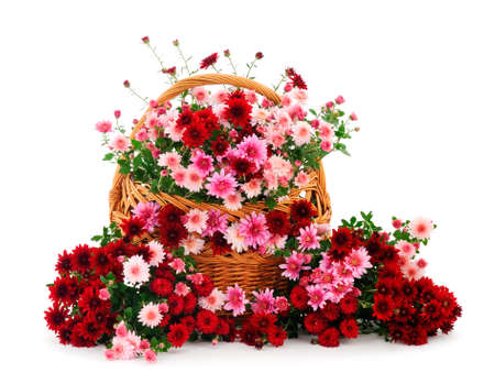 Autumn beautiful colorful flowers of chrysanthemum in the basket isolated on white background.