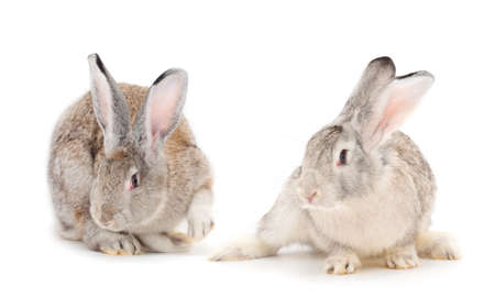 Gray rabbits isolated on a white background.