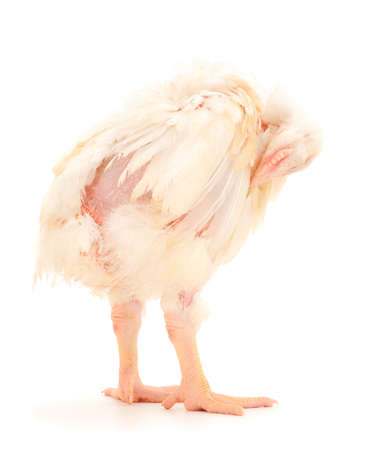 Chicken or young broiler chickens on isolated white background.