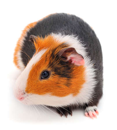 Guinea pig isolated on white background. Funny, guineapig. Banque d'images