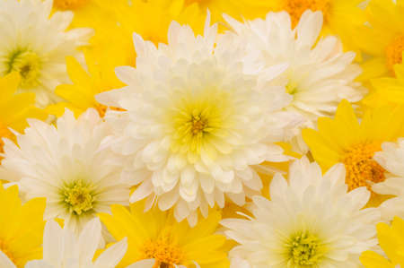 Autumn beautiful colorful flowers of chrysanthemum, background.