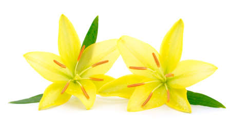 Two yellow lily isolated on white background.