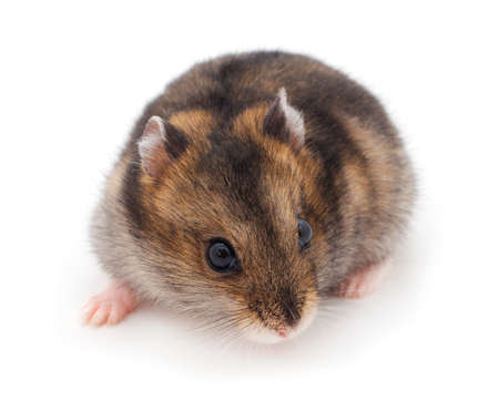Dwarf gray hamster isolated on white background.