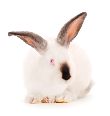 White rabbit isolated on a white background. Banque d'images
