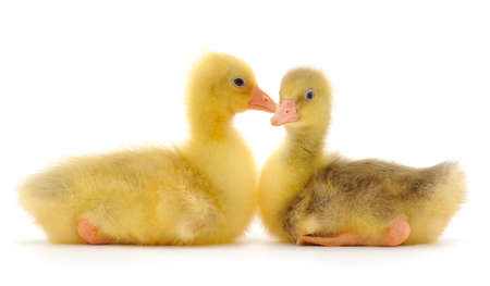 Two little gosling isolated on white background.