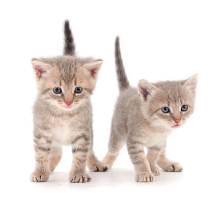 Two small gray kitten on a white background. Banque d'images
