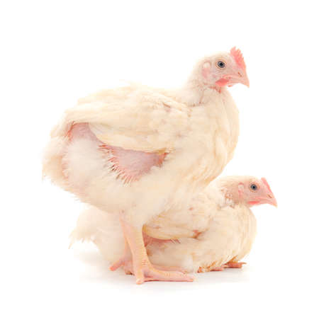 Two chicken or young broiler chickens on isolated white background.