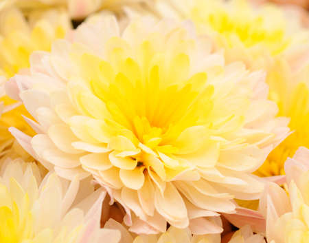 Autumn beautiful colorful flowers of chrysanthemum isolated on white background.