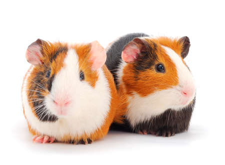 Two guinea pigs isolated on white background. Funny, guineapig. Banque d'images