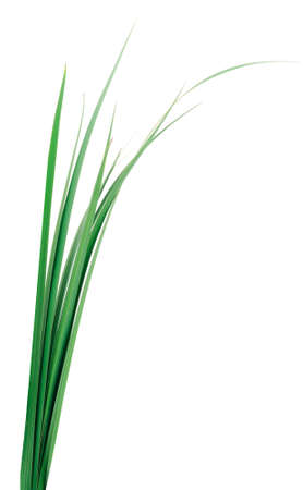 Bunch of fresh green grass isolated on white background. Banque d'images