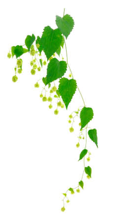 Hops isolated. Green fresh leaf, stem and hop cone bunch isolated on white background.