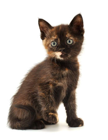 Small brown kitten on a white background.