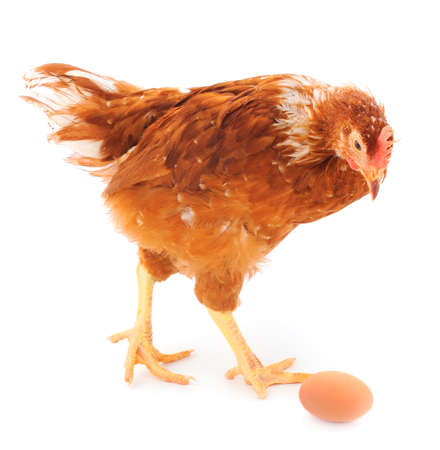 Young brown hen and egg isolated on white background.