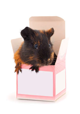 Guinea pig in box isolated on white background. Funny, guineapig.