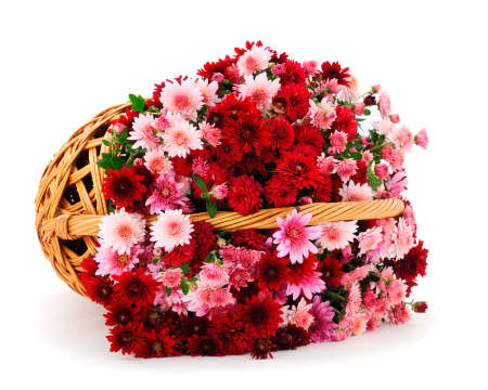 Autumn beautiful colorful flowers of chrysanthemum in the basket isolated on white background. Banque d'images