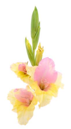 Beautiful gladiolus flower isolated on white background.Blank of congratulatory card.