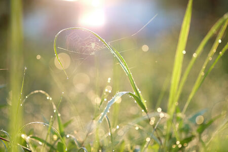spider net: Droplets of water on blades of grass in sunshine and spider net