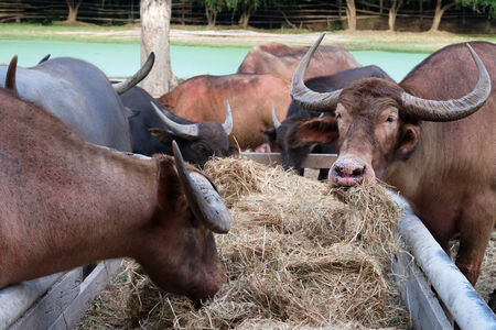 dry cow: Close up long horn buffalo eating dried grass or straw in stables Stock Photo