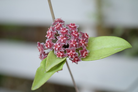 cluster house: close up red Hoya flowers. (Hoya parasitica)