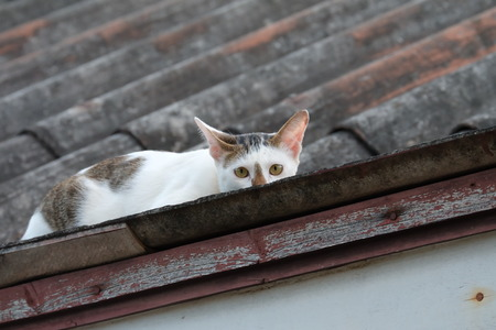 White and Grey Cat hide on The Roof in Thailand