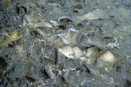 Many fishes are fight over for food ,feeding fish in river, Thailand