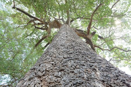 large trees: big tree up to top view, Very few large trees remaining in the wild today