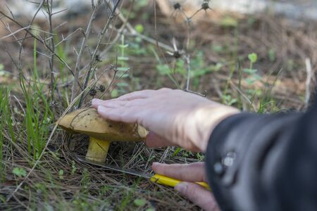 """Hand with a knife cutting a yellow """"Weeping bolete"""" mushroom in a pines forest, Ahihud, Israel"""