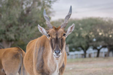 Portrait of an Taurotragus oryx, a large Eland antelope, also known as Southern antelope