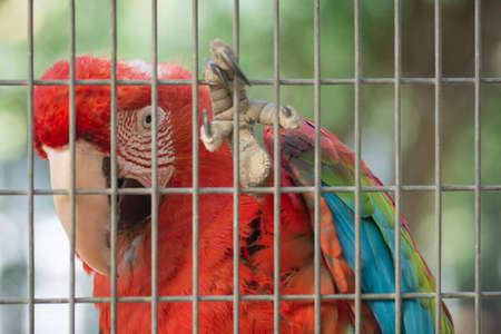 Close up of a Red-and-green macaw (Ara chloropterus) ,holding the cage with its claws 免版税图像